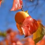 柿の栄養と効能!へたと葉にもビタミンCが!
