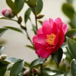 山茶花と椿の違いを一発チェック!